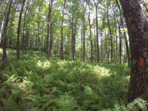Ferns along Bucktail